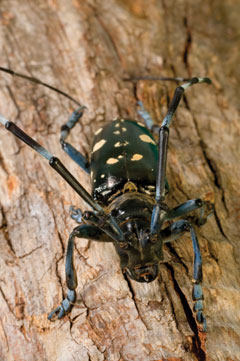 An adult Asian longhorned beetle on tree bark
