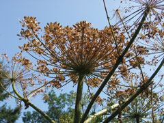 The flower and seed head of the giant hogweed plant