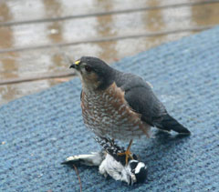 A sarp shinned hawk on the ground holding a dead chickadee