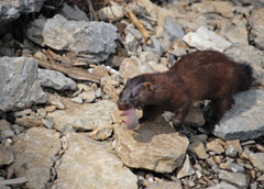 A female mink carrying her kit in her mouth