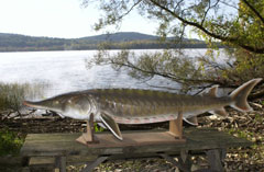 A life -size model of a sturgeon on display near the river