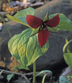The spring wildflower red trillium growing on the forest floor