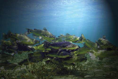 An underwater photo of a school of bullhead