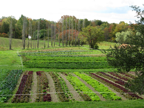 A farm with plantings of lettuces and herbs