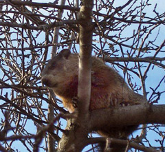 A woodchuck up in the tree branches