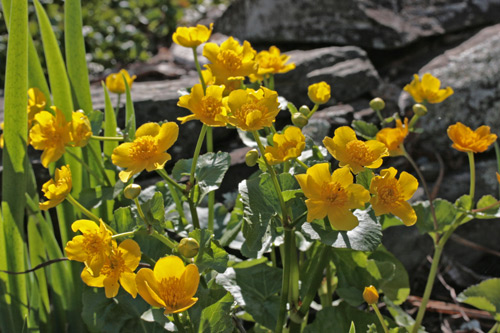 A yellow-flowered marsh marigold plant
