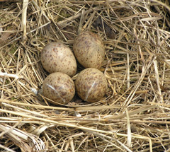 A straw nest with four woodcock eggs in it