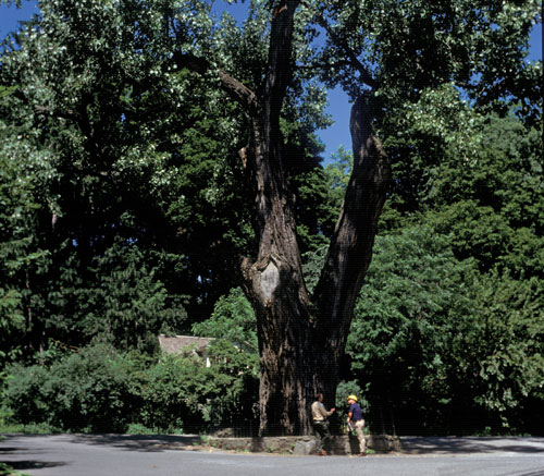 The balmville tree, the oldest living eastern cottonwood in the United States