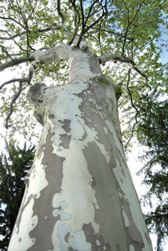 Looking up the trunk of an American sycamore to the canopy