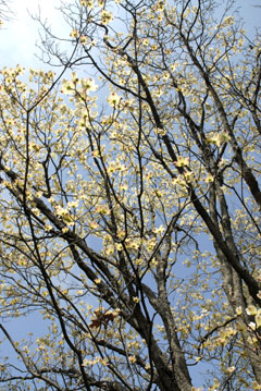 Looking at the sky through the branches of a tree with yellow flowers