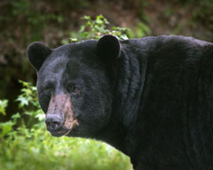 The head and upper body of a black bear