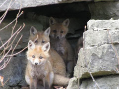 Three young foxes peek out from their den