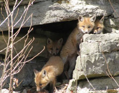 four young foxes coming out of their den in the rocks
