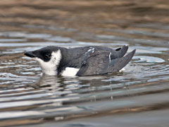 A dovekie, which resembles a small penguin, in the water