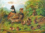 A lithograph by A. F. Tait of a family of quails