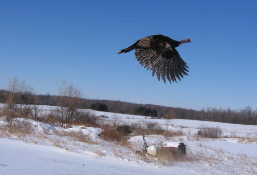 A wild turkey in flight over a snowy field