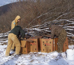Biologists reach into boxes containing captured turkeys