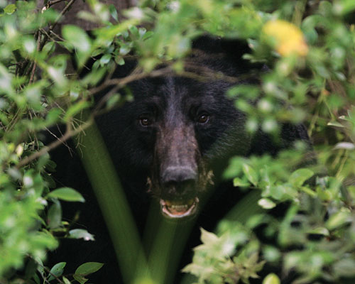 The head of a black bear peeks through the branches