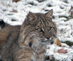 The head and upper body of a bobcat