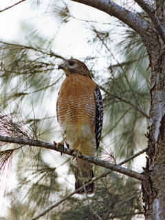 A red-shouldered hawk in a pine tree