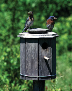 Two bluebirds perched on top of a bluebird house