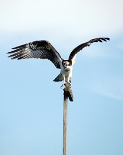 An osprey landing on top of a pole