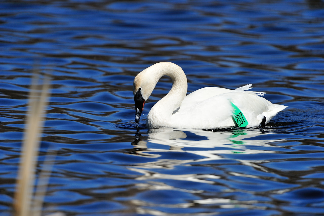 A tagged trumpeter swan in the water