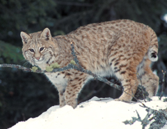 A bobcat standing in the snow