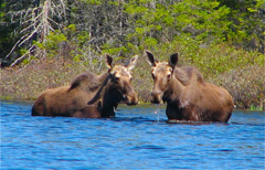 Two moose standing chest deep at the edge of a lake