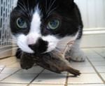 A close-up of the head of a black and white cat with a bird in its mouth