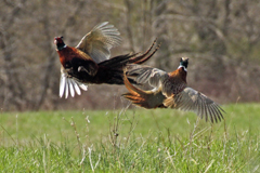 Two rooster pheasants fighting in the air