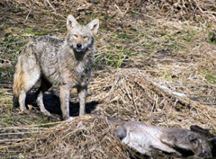 A coyote stands next to a deer it has just killed