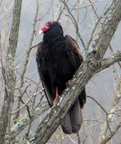 A turkey vulture perched in a bare tree