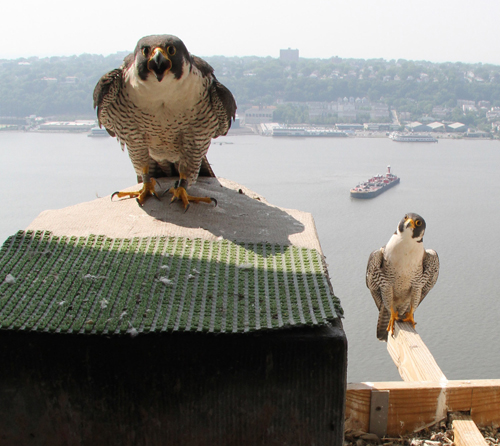Two peregrines on a perch high above a river in New York City