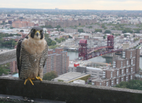 An adult peregrine falcon perches on a ledge above a city