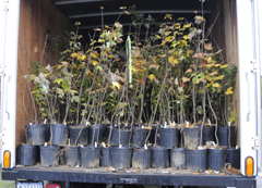 The back of a van filled with tree seedlings in black pots