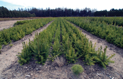 Rows of young evergreen seedlings at a nursery