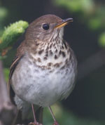 Close-up of Bicknell's thrush