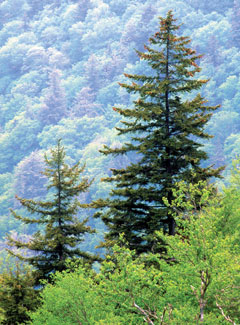 Red spruce trees stick up above the tree canopy on a mountainside