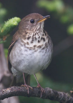 A Bicknell's thrush perched on a tree twig
