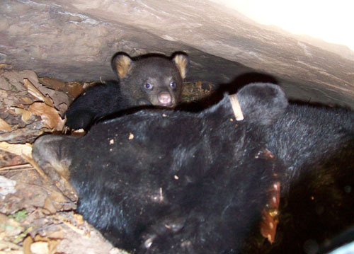 A collared female bear with her cub in their winter den