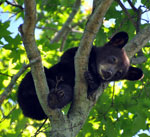 A black bear cub up in the branches of a tree