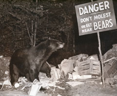 "A black and white photo of a black bear standing in garbage looking at a sign ""Danger, Don't Molest or get near bears"""