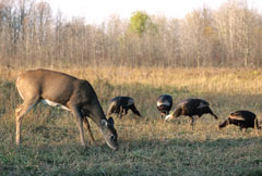 A deer and four turkeys grazing in a field