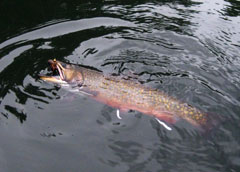 A brook trout with an open mouth near the surface of the water