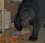 A bear in a kitchen pantry, eating food off the floor