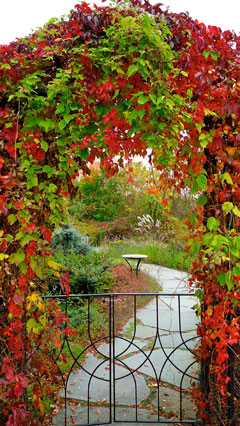 An arbor covered with Virginia creeper showing its red fall color