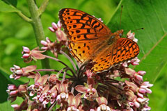 An orange and black fritillary butterfly on a milkweed blossom