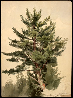 A watercolor and pencil painting of a white pine