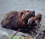 A wet beaver at the edge of the water